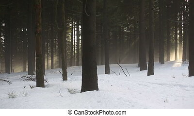 Magical glimpse into the winter nice spruce forest....