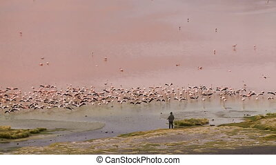 Magical View Of Flying Laguna Flamingos, Bolivia - Wide...