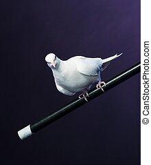 magician's, séance, crosse, entraîné, colombe blanc