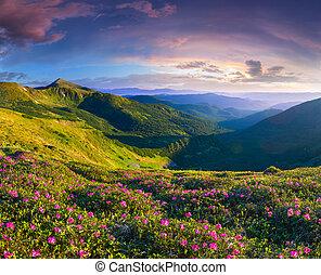 magisch, roze, rododendron, bloemen, in, de, bergen., zomer, zonopkomst