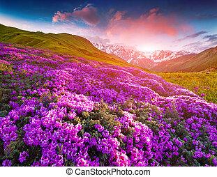 magisches, rosa, rhododendron, blumen, in, der, berge., sommer, sonnenaufgang