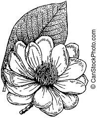 magnólia, campbellii, planta