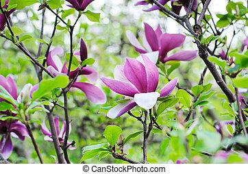magnólia, flores
