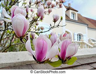 magnólia, jardim flor