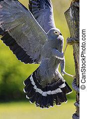 Magnificent african harrier hawk gymnogene bird of prey ...