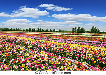 Magnificent colorful garden buttercups
