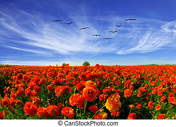 Magnificent field of bright red buttercups. Kibbutz grows beautiful garden buttercups for sale abroad