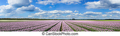 Magnificent field of tulips in Holland.