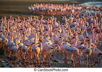 Magnificent flamingos in Namibia - Magnificent birds forage...