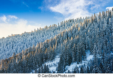 magnificent forest in winter mountains - magnificent spruce...