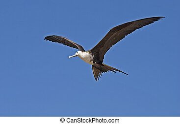 Magnificent frigate bird in the air - Magnificent frigate...