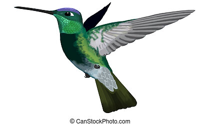 Magnificent Hummingbird - male Eugenes fulgens Computer painting