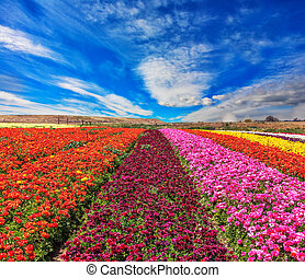 Magnificent kibbutz field with blossoming buttercups -...