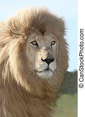 Magnificent Lion Portrait