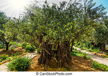 Magnificent millennial olives grow on red-orange sandstone....