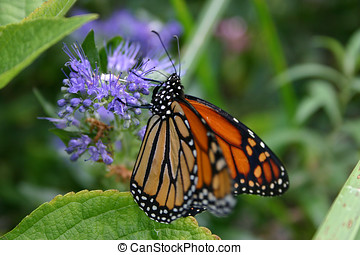 Magnificent Monarch Butterfly - A monarch butterfly with...