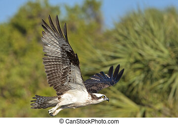 Magnificent osprey - in flight in his habitat, with ...