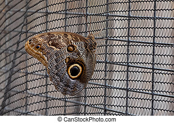 Magnificent Owl Butterfly sitting on wire fence.