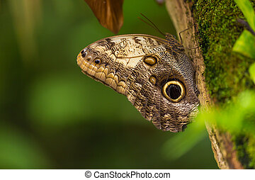 Magnificent owl (caligo eurilochus sulanus) butterfly on...