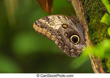 Magnificent owl (caligo eurilochus sulanus) butterfly on ...
