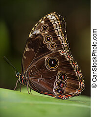 Magnificent owl (caligo eurilochus sulanus) butterfly on green nature background