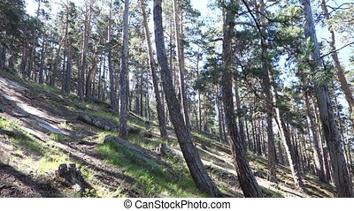 magnificent pine forest in the sunlight.