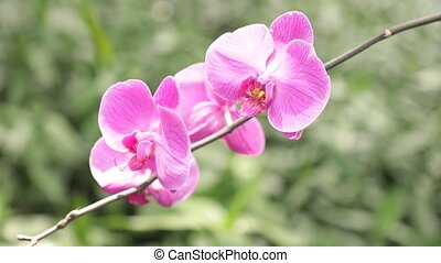Magnificent Pink Violet Orchids HD