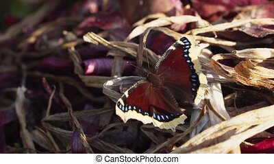 Magnificent specimen of the Mourning Cloak Butterfly, resting on castoff, dried onion leaves in a private garden. Video 4k