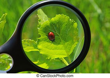 magnifier increases the red beetle on a green leaf of a plant