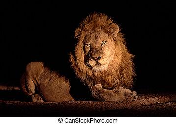 magnifique, localisé, lion, safari, nuit, mâle