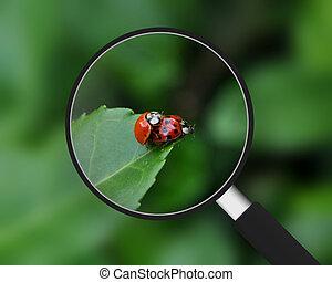 magnifying glass, -, ladybugs