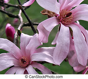 magnolia, 6