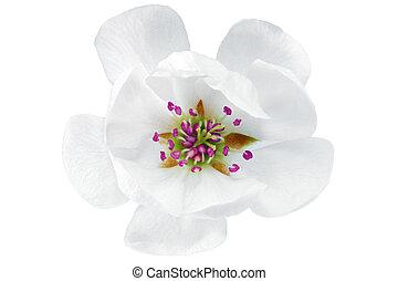 magnolia., aislado, solo, flor blanca, fondo.