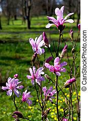 magnolia, azzurramento