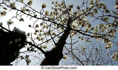 magnolia, beau, fleur
