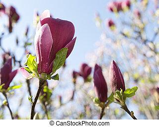 Magnolia - Beautiful magnolia flowers on the tree
