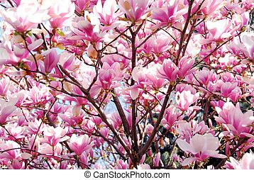 magnolia, blooming