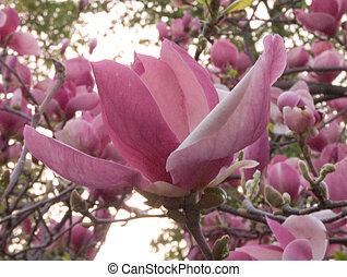 Magnolia - Blooming magnolia tree