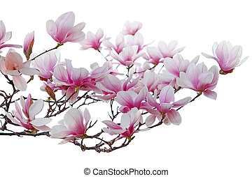 Magnolia Blossom - Pink Magnolia blossom in spring time ...
