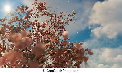 Magnolia blossom tree with petals flying against beautiful...