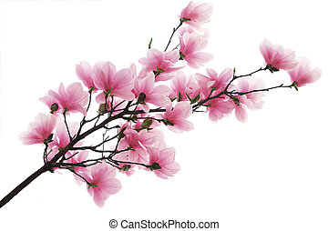 Pink magnolia blossom flower branch isolated on white