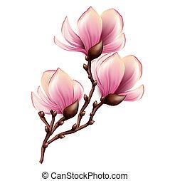 magnolia, branche, isolé