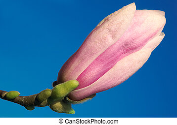 magnolia bud against blue sky