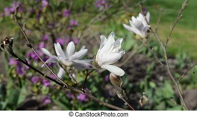 magnolia bud bloom flower