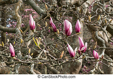 Magnolia buds in spring