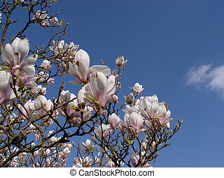 magnolia + cloud - blossoms of a spring tree in front of...
