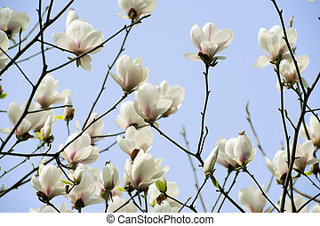 magnolia, denudata, fleur