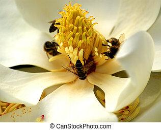 magnolia, fleur, pollinisation