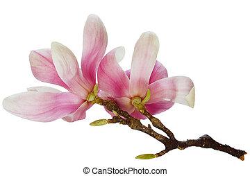 magnolia, fleurs