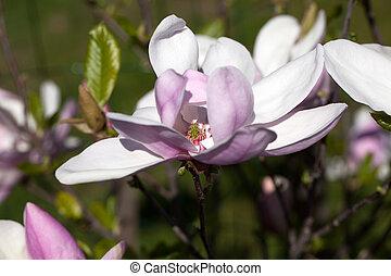 magnolia, flores, en, primavera